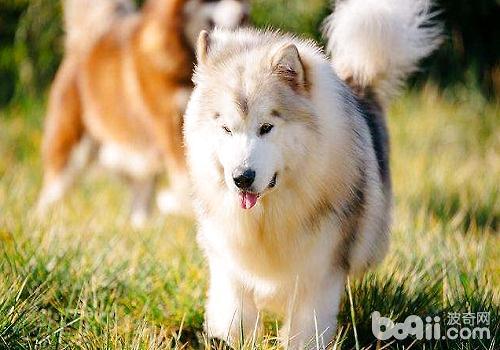 阿拉斯加的饲养成本,饲养阿拉斯加的花费-成犬饲养
